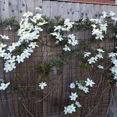 How to Make A Feature of Your Fences with Climbers (Not Just the Usual Suspects)