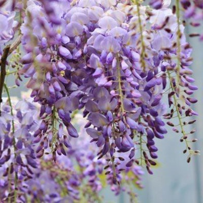 A wisteria's white and purple flowers