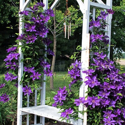 Purple clematis growing up a lattice arbour