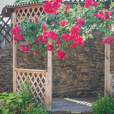 Red roses growing up a garden arbour