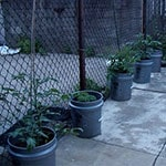 Plants in round, plastic containers, situated on a patio, next to a fence.