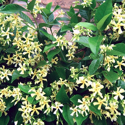 Yellow star jasmine flowers growing against a wall
