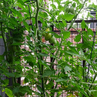 Tomatoes growing up a lattice fence