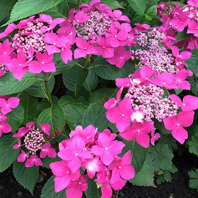 Pink hydrangea with green foliage