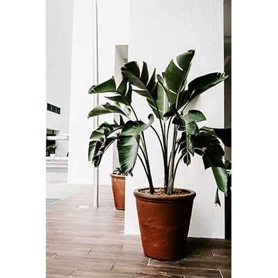 A houseplant with large green leaves, sitting in a brown pot