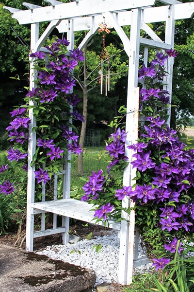 Wooden garden arbour covered in purple clematis