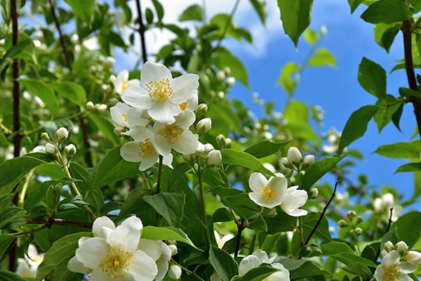 jasmine flowering against blue sky
