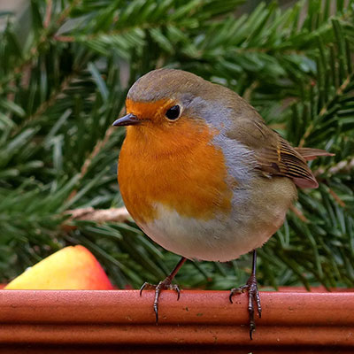a robin sat on top of a fence