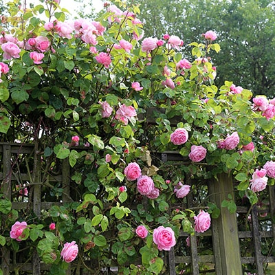 pink roses climbing up a trellis fence