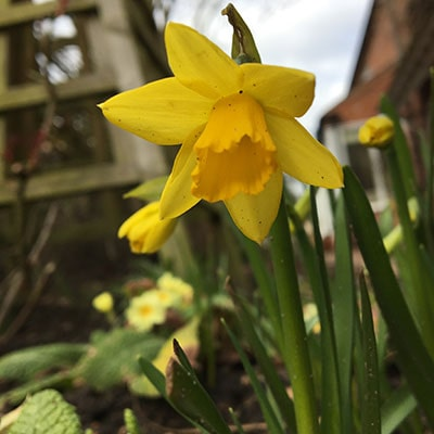 yellow daffodils growing in a garden