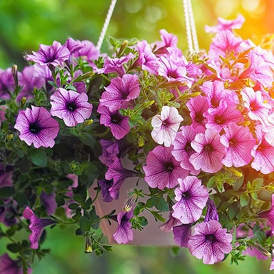 A summer hanging basket containing purple petunia.