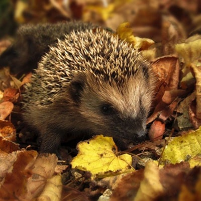 a hedgehog in autumn leaves