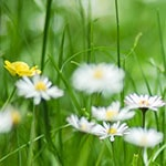 A close-up of daisies and a buttercup growing on a lawn.