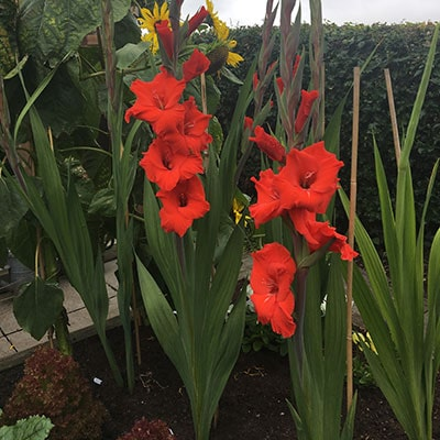 red gladioli growing in a garden