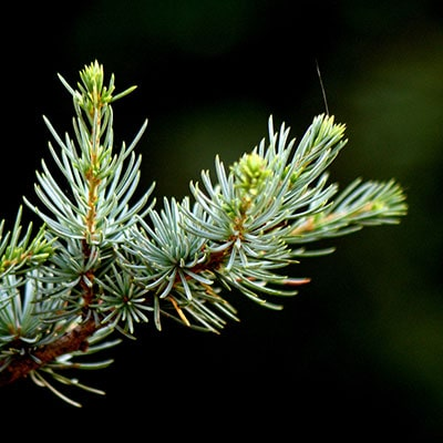 a close-up of a Christmas tree branch