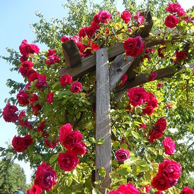 Red roses growing on a garden arbour