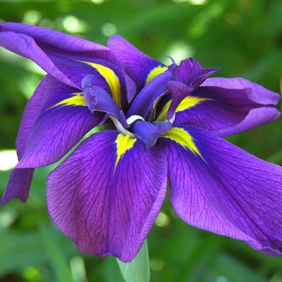 Purple iris, with a yellow throat, growing in a garden