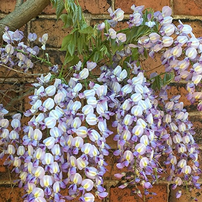 Wisteria growing against a brick wall