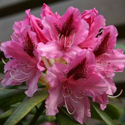 a pink rhododendron with green foliage