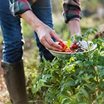 A woman picking tomatoes and putting them in a bowl.