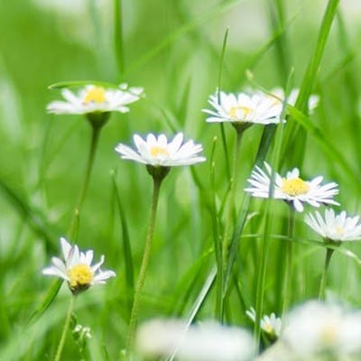 A close-up of daisies growing on a lawn.