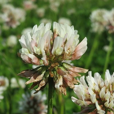 white clover weeds on a lawn